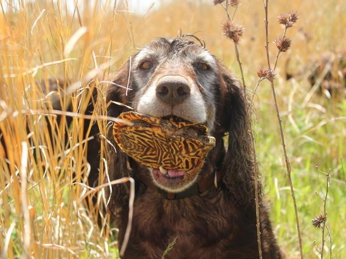 Good Girl! These Dogs Are Helping Save Habitats By Finding Rare Turtles