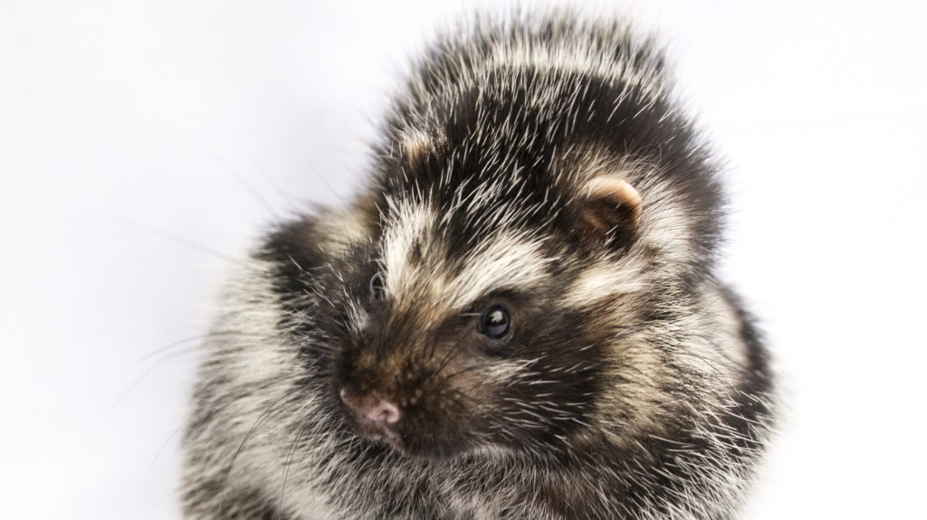 For Rats That Coat Themselves In Poison, These Rodents Are Surprisingly Cuddly