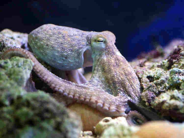 Viewing Octopus Choreography In Captivity