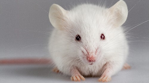 How Mouse Studies Lead Medical Research Down Dead Ends