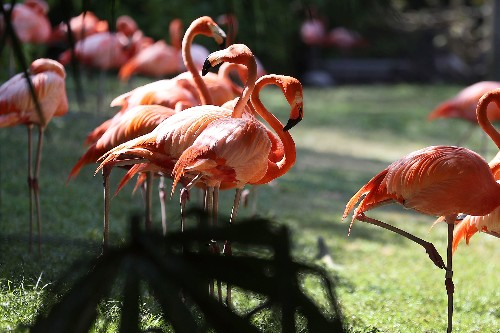 Florida's Long-Lost Wild Flamingos Were Hiding In Plain Sight