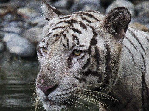 Census Finds Nearly 3,000 Tigers In India