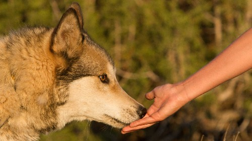 Abused Wolves And Troubled Teens Find Solace In Each Other