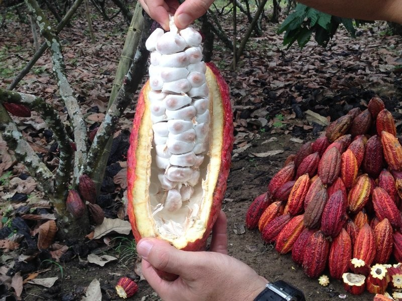 Is cocoa still cursed? – Agricultural Biodiversity Weblog