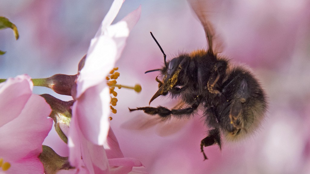 Bumblebees' Little Hairs Can Sense Flowers' Electric Fields