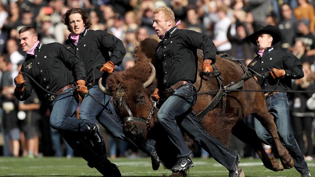 University Of Colorado's Live Buffalo Mascot To Retire Because She Runs Too Fast
