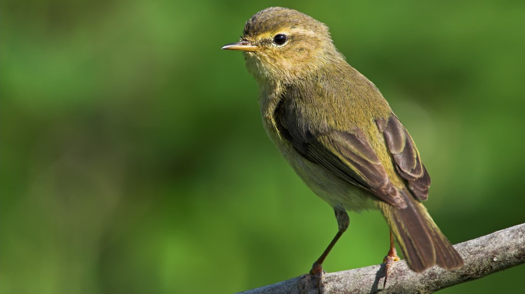 Do Those Birds Sound Louder To You? An Ornithologist Says You're Just Hearing Things