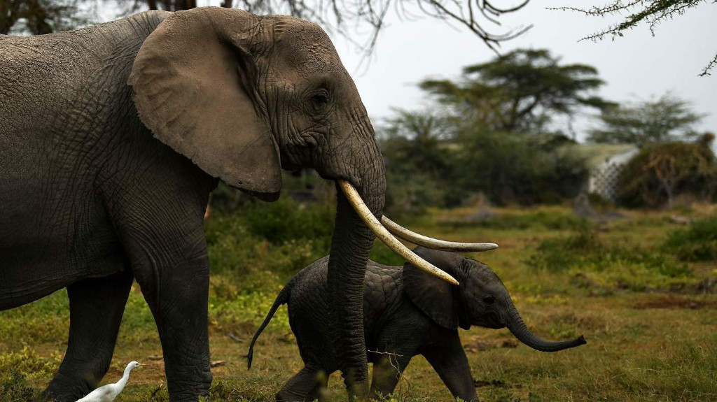 Some Good News: An 'Elephant Baby Boom' In One Kenyan National Park