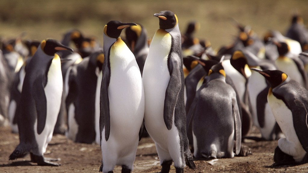 Scientists Predict King Penguins Face Major Threats Due To Climate Change