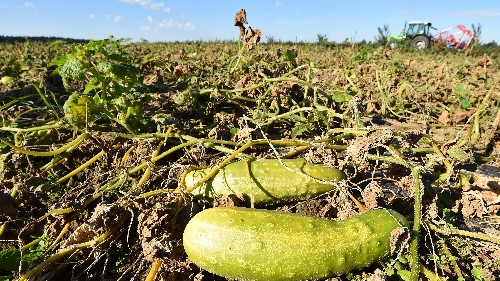 Scientists Are Fighting For The Stricken Pickle Against This Tricky Disease