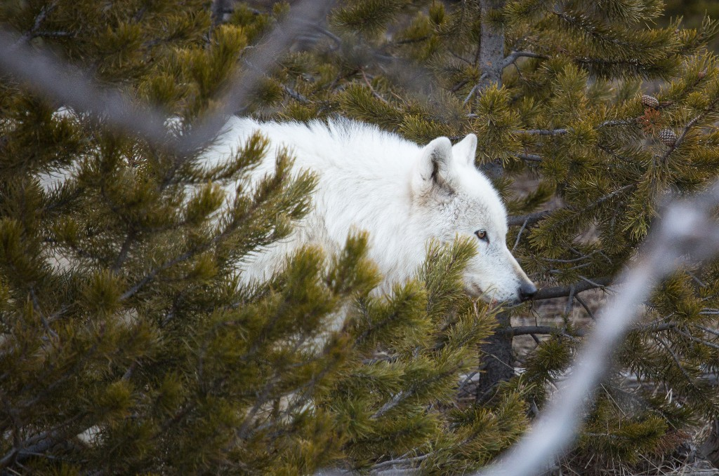 Rare White Wolf In Yellowstone Was Shot, Park Reveals