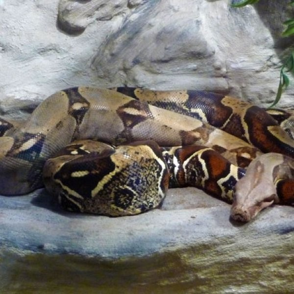 Couple Finds Giant Snake in Couch