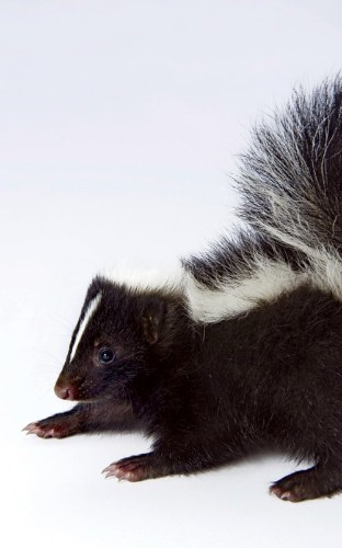 On the (Very Smelly) Trail of the Skunk Takeover