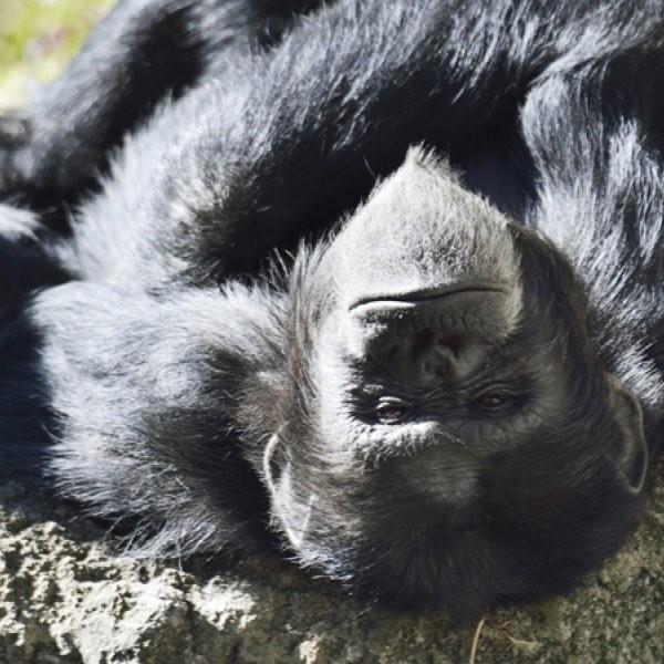 7 Chimps Escape Zoo