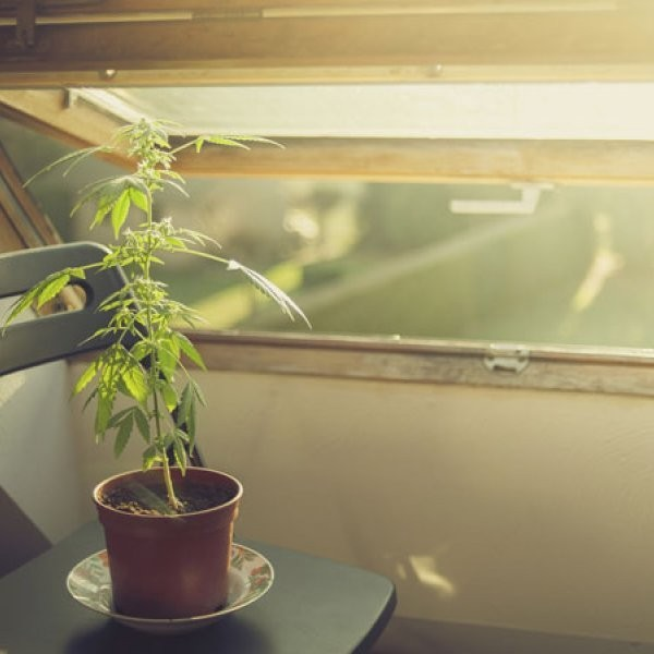 Marijuana Odor Prompts New Detection Device