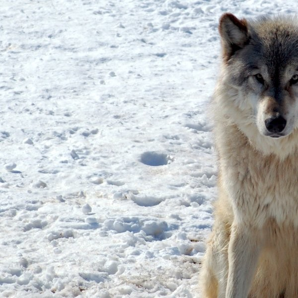 Lawsuit Contests Gray Wolf Killings