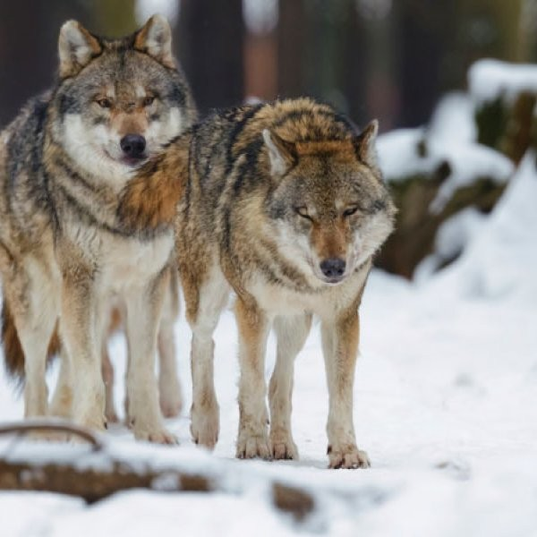 Early Humans Didn't Domesticate Wolves