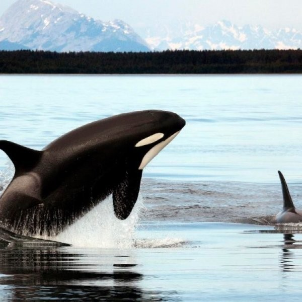 Biologist Guilty of Feeding Wild Orcas