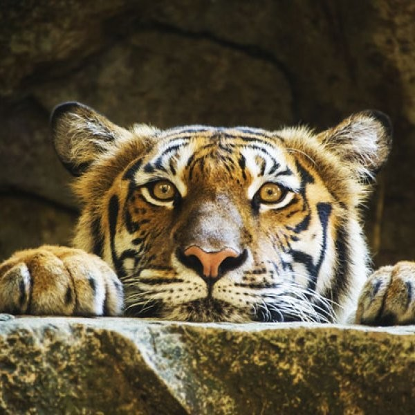 2 Tigers Granted Asylum