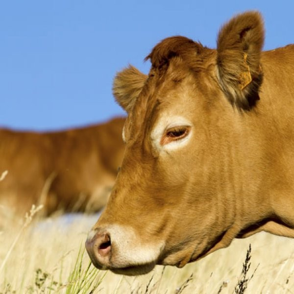 FDA: No More Wet Hops for Cows
