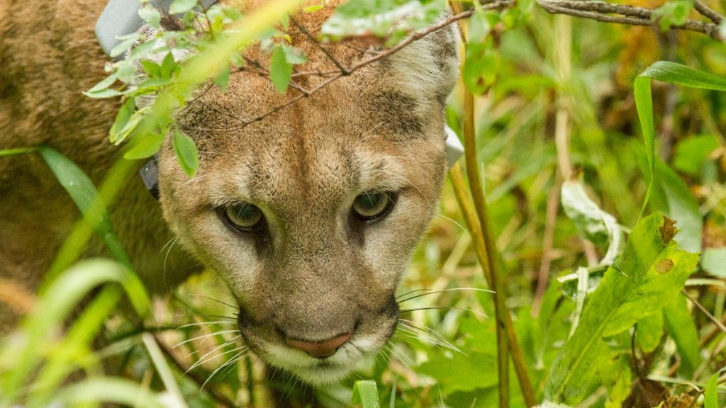 We Need to Reject the Faulty Science Behind Trapping Mountain Lions