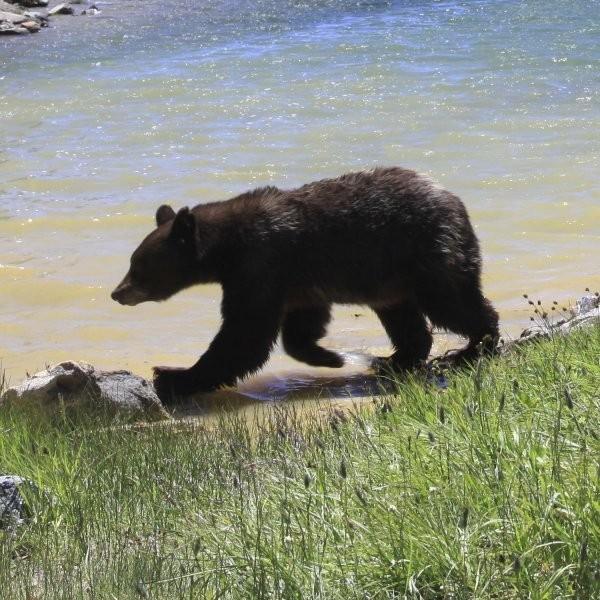 Yosemite Bears Keep Getting Smarter