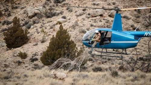The Helicopter-Flying Wildlife Biologists Saving Our Wildlife