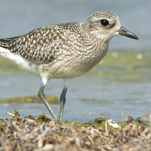 Birds Threatened by Coastal Bend Oil Spill