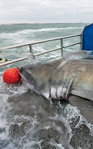 The Last Hope of the Great White Shark?