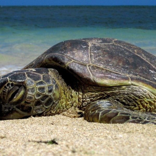 Where Can I Volunteer with Sea Turtles?