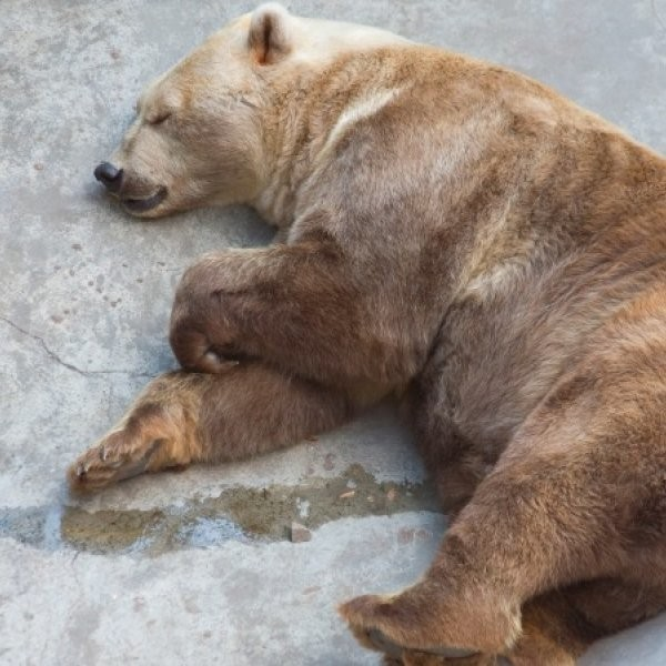 Will Grizzly Bears Unlock Secret to Obesity?