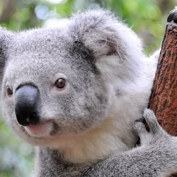 Koala Bellowing Explained