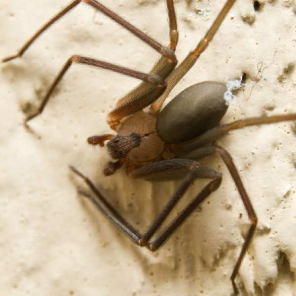 Scientists Harvest Deadly Spider Silk