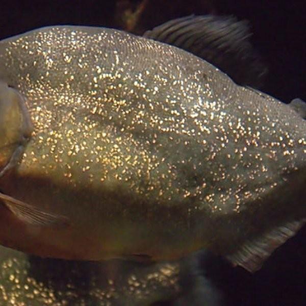 70 Injured in Christmas Piranha Attack