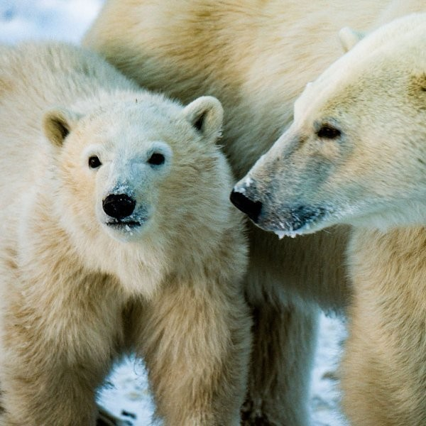 With Drilling ANWR a Go, Polar Bears Will Suffer
