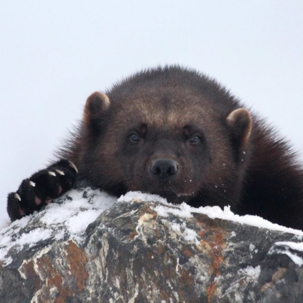 Wolverines: The Future of Search and Rescue
