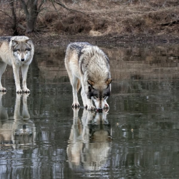 Wyoming Wolves Back on Endangered Species List