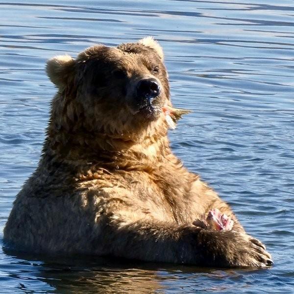 It's Fat Bear Week, Motherf*ckers