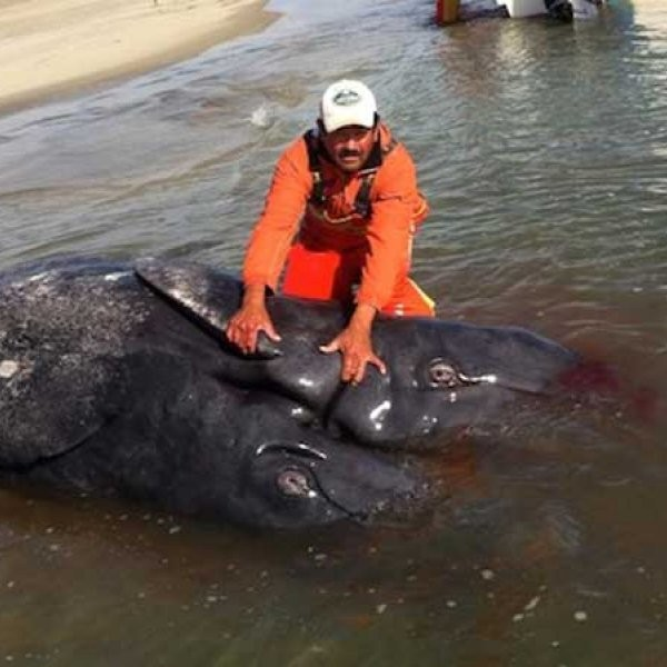 Conjoined Whales Found in Mexico