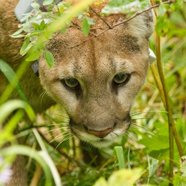 Op-Ed: Trapping Mountain Lions to Help Deer Contradicts Science