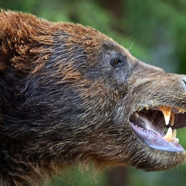 Man Survives Bear Attack, Allegedly Eats Dog