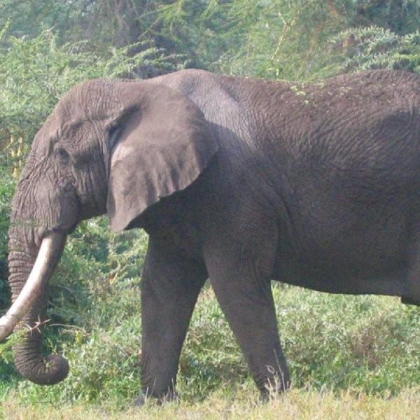 World's Largest Elephant Poached in Kenya