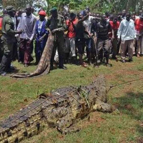 One-Ton Crocodile Captured