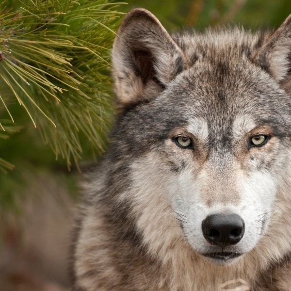 Gray Wolf Spotted at Grand Canyon