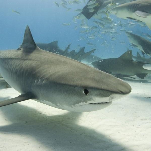 Sharks Film with POV Cameras