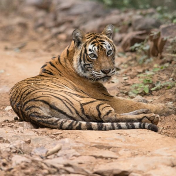 Indian Tiger Killed by Rangers