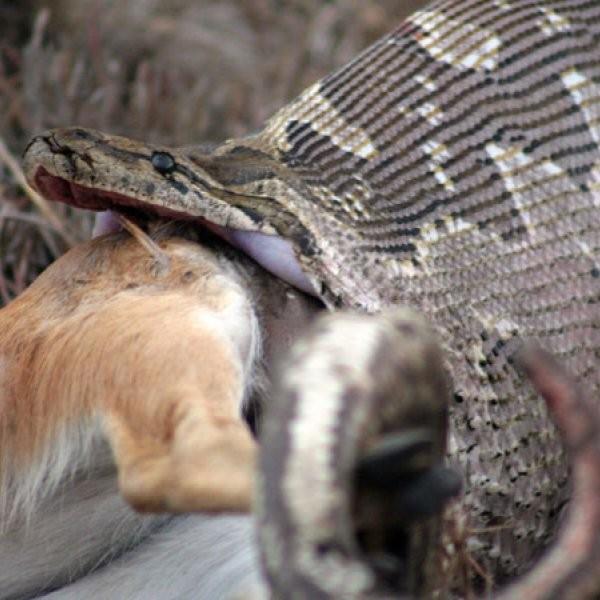 Killer Python Escapes Capture