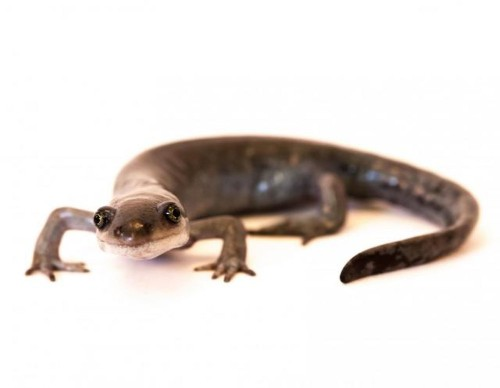 How a female-only line of salamanders 'steals' genes from unsuspecting males