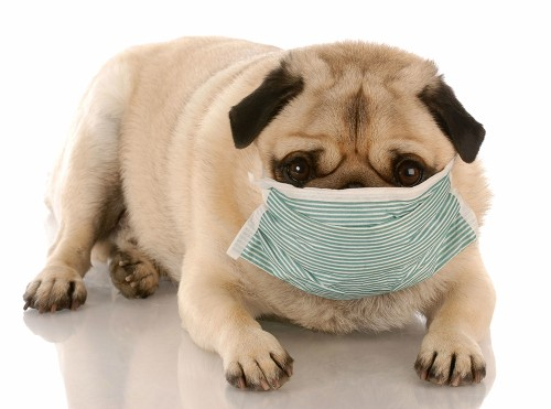 There's an outbreak of canine flu. What do we do?