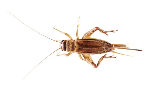 How To Raise Your Own Edible Crickets
